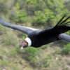 Condor Andino en Los Gigantes Cordoba