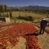 Secado al sol de ajíes en Cachi Salta