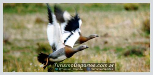 Avistaje de aves en Villa Pehuenia Alumine
